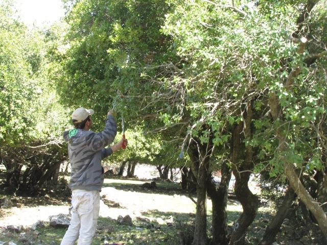 مشروع نقل أشجار السنديان